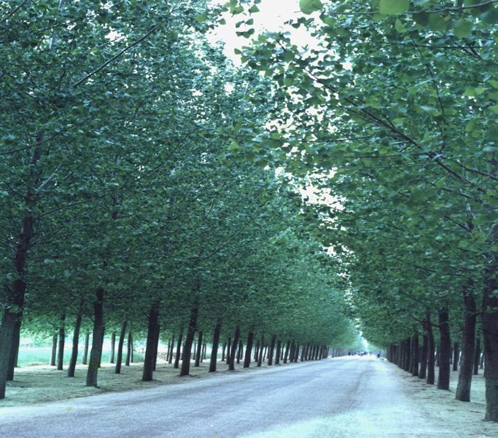 【景观设计】城市 行道树 种植常识(最最最最基本的知识点,都是老师没