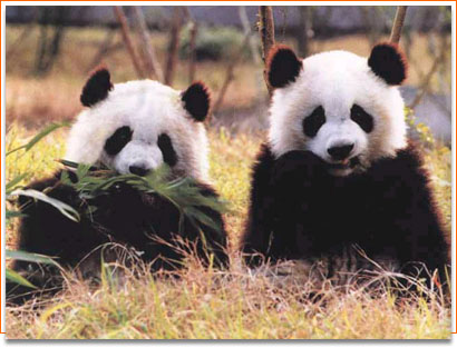 中国国宝——大熊猫